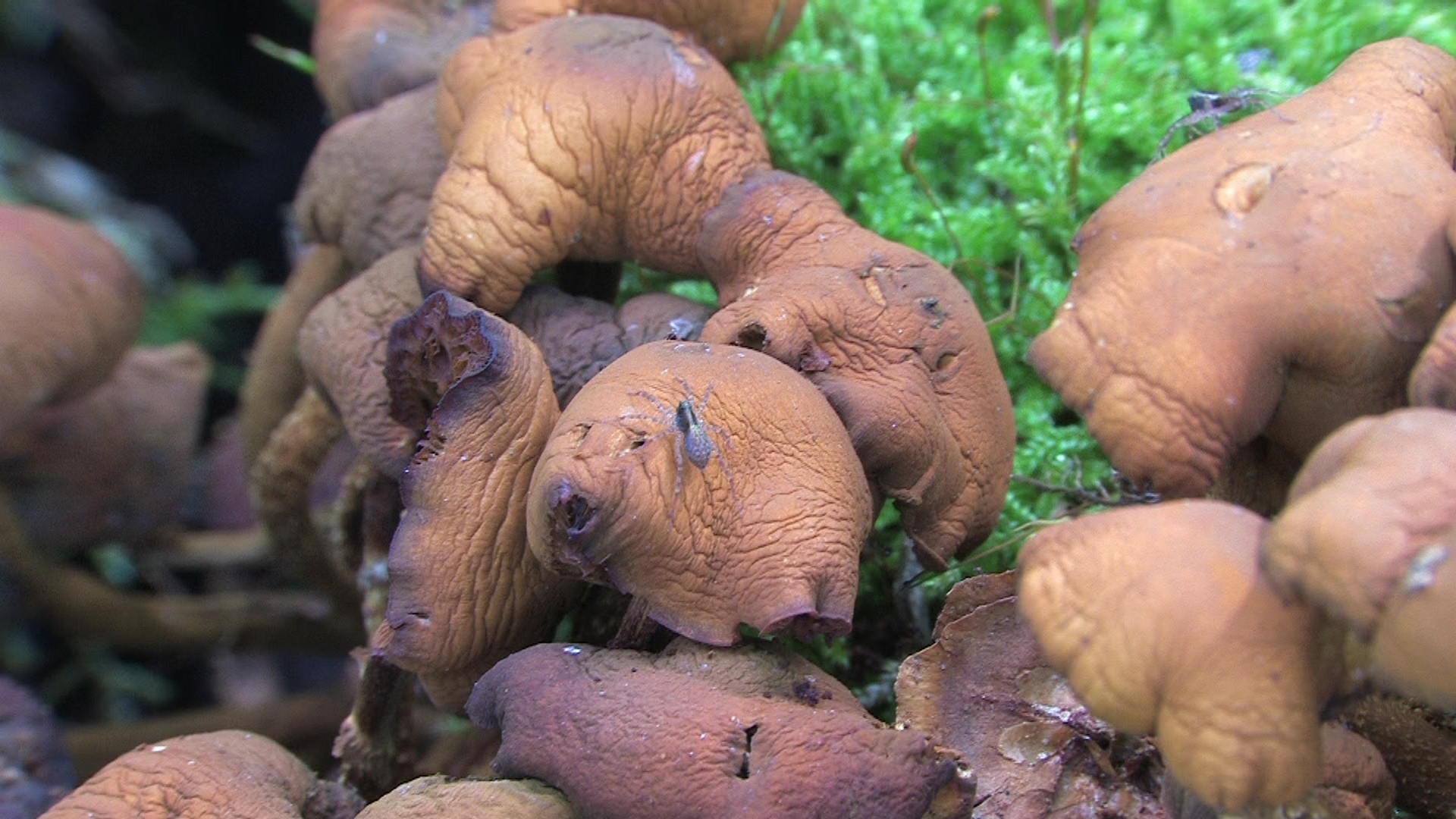Kuehneromyces_mutabilis,_several_days_old_-_2012-08-21-(36).jpg