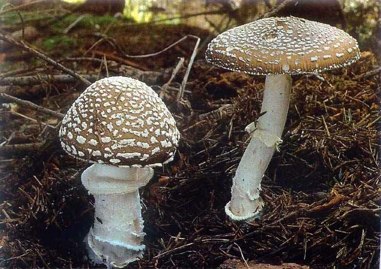 AMANITA_PANTHERINA1.jpg