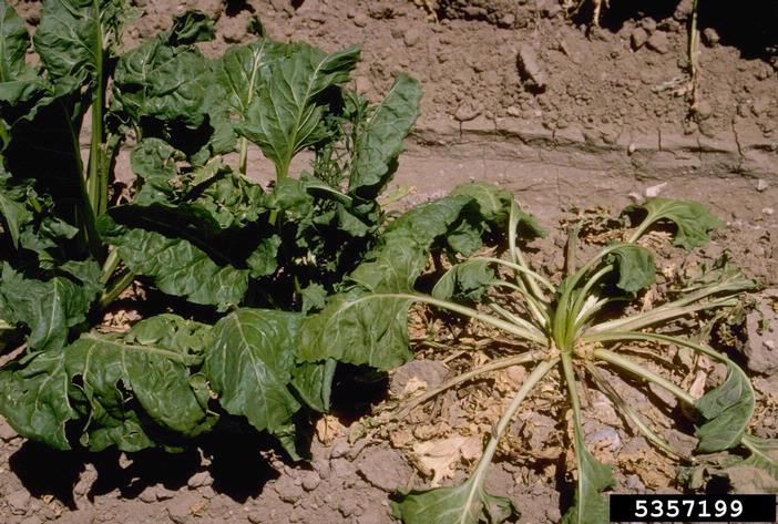 Rhizoctonia_solani_symptoms_beet.jpg