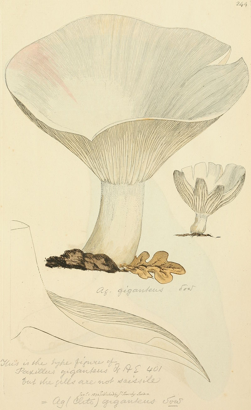 800px-Coloured_Figures_of_English_Fungi_or_Mushrooms_-_t._244.jpg