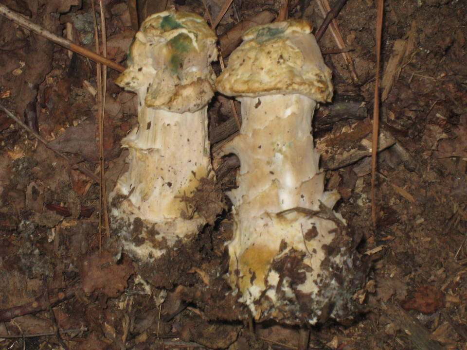 Hypomyces.hyalinus.001.COPY.jpg